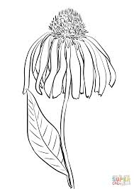 purple coneflower coloring page free printable coloring pages