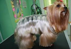 australian shepherd haircuts yorkie haircuts for males and females 60 pictures yorkie life