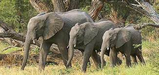 images of kruger park elephant immunocontraception