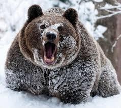 Meme Bear - create meme bear cocaine bear cocaine grizzly bear bear rod