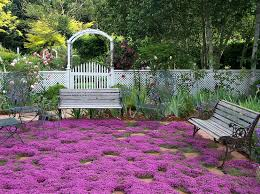 paths with groundcover creeping thyme ground cover seeds by