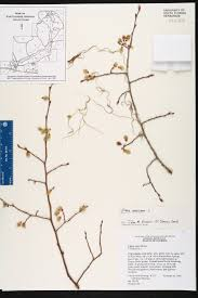 Map Of Springs In Florida Ulmus Americana Species Page Isb Atlas Of Florida Plants
