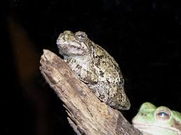 the online zoo gray tree frog