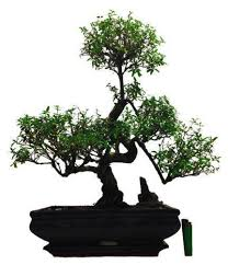 bonsai tree house plants indoor trees ebay