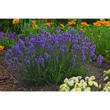 Most Fragrant Lavender Plant Proven Winners Sweet Romance Lavender Lavandula Live Plant Blue