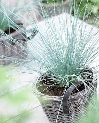 200 pcs bag fiber optic grass seed mixed isolepis cernua seeds