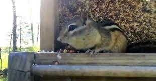 Dramatic Squirrel Meme - dramatic chipmunk video ebaum s world