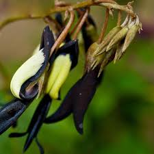 black orchid flower plant benn orchid flower seeds potted flowers black orchid