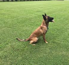 training a belgian sheepdog protection trained dogs sale high class k9 protection dogshigh