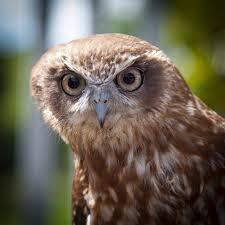 brown white owl free stock photo