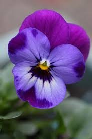 Beautiful Flowers Best 25 Pansy Flower Ideas On Pinterest Pansies Beautiful