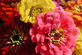 free photo zinnias nature flowers garden bloom blossom max pixel