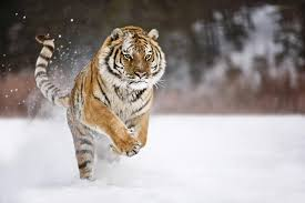 tiger hd wallpaper 0255