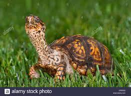 eastern box turtle terrapene carolina on a backyard lawn