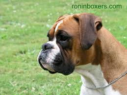 boxer dog yorkshire 83 best boxer dog images on pinterest boxers boxer love and