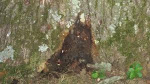 White Oak Tree Bark Damage To White Oak Ask An Expert