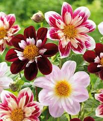 dahlias flowers the dahlia flowers