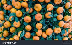 100 kumquat fruit tree candied kumquat u0026 cream cheese