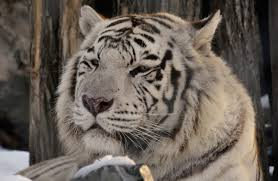 read about the habitat of the siberian tiger a majestic feline