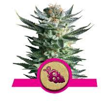 top fruity marijuana strains rqs blog