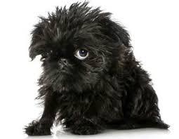 affenpinscher brussels griffon rescue brussels griffon puppies brussels griffon dog breed