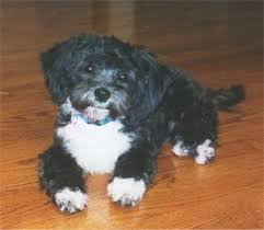 shi poo shih poo dog breed information and pictures