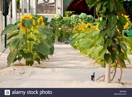Hydroponics Vegetable Gardening by Sunflowers U0026 Fruit Flowers And Vegetable Are Grown In A Tropical