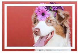 australian shepherd grooming needs best dog clippers for grooming 2017 professional tools at home
