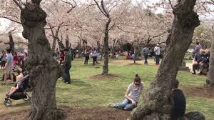 National Cherry Blossom Festival by National Cherry Blossom Festival Original First Planted Trees 1912