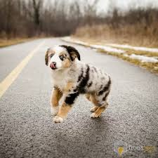 australian shepherd 11 weeks old reddit top 2 5 million puppies csv at master umbrae reddit top
