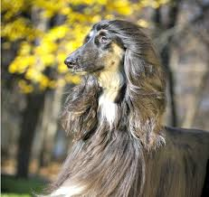 afghan hound giving birth name your dog a character in star wars the force awakens