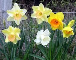 flower bulbs corms tubers rhizomes