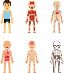 Cartoon Human Anatomy Body Anatomy Vector Stock Vector Art 504423398 Istock