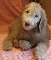 grooming a bedlington terrier puppy 72 best bedlington terriers images on pinterest horse
