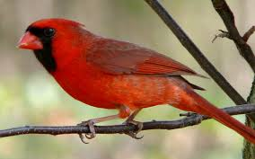 listen up five song birds singing spring songs in your backyard