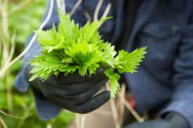 native british plants nettle guide where to find how to pick nettles safely and recipe