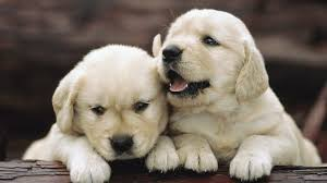 Cute Dogs Wallpapers by Cute Dog Wallpapers Hd