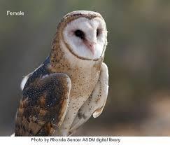 North American Barn Owl Barn Owl Wryheat