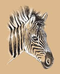 sketch of a baby zebra u0027s face royalty free stock images image
