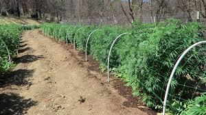 How Many Square Feet In Half An Acre Grow Marijuana Half Acre Medical Marijuana Garden Youtube