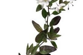 is a flowering potato vine poisonous to dogs home guides sf gate