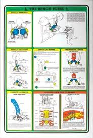 Bench Press Workout Routine Chart Muscle Chart Template The Muscular System Deep Layers Front