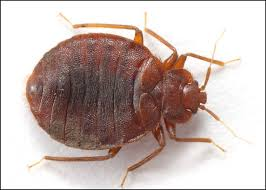 light brown roach looking bug bug identification allied termite and pest control