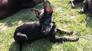 belgian shepherd x labrador squeak u2013 13 week old male belgian shepherd cross lurcher dog for