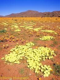 desert flowers photo wp03739