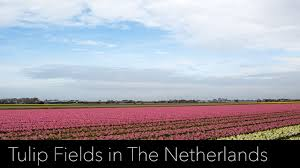 visit to the tulip fields and keukenhof in the netherlands