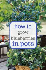 best 25 growing blueberries ideas on pinterest growing