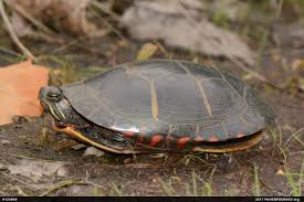 Texas Map Turtle Search Results