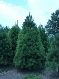 white pine trees white pine trees