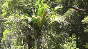 plants native to new zealand nikau palm rhopalostylis sapida native to new zealand youtube